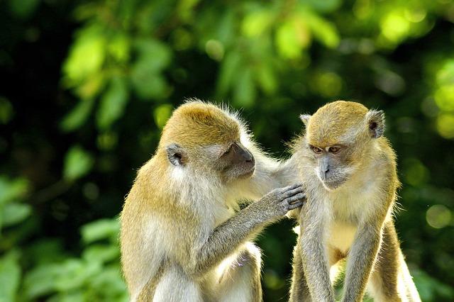 monkey Bali